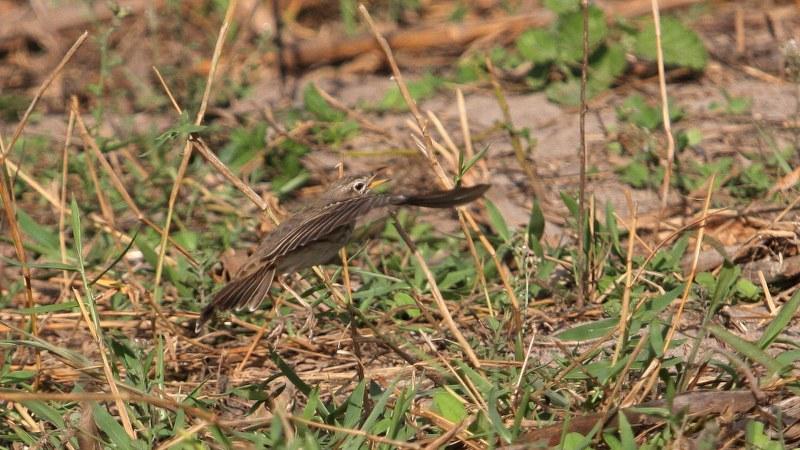 Anthus melindae 8