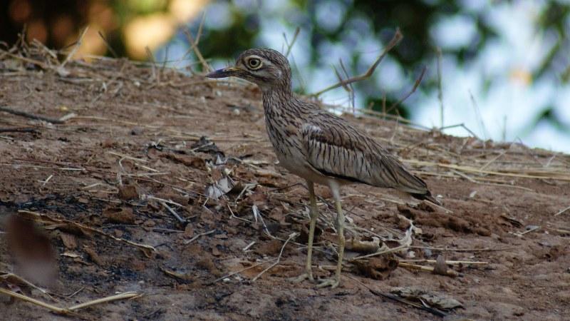 Burhinus senegalensis 8