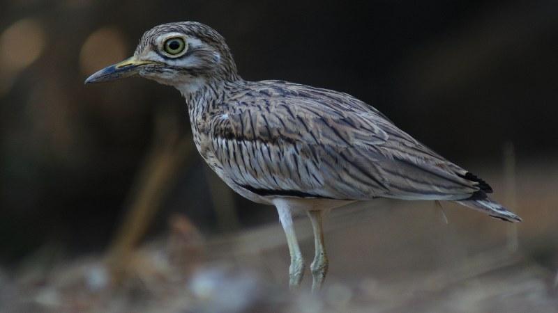 Burhinus senegalensis 12