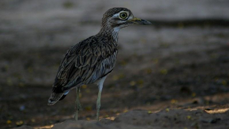 Burhinus senegalensis 13