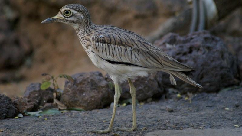 Burhinus senegalensis 14