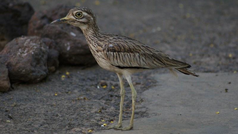 Burhinus senegalensis 16