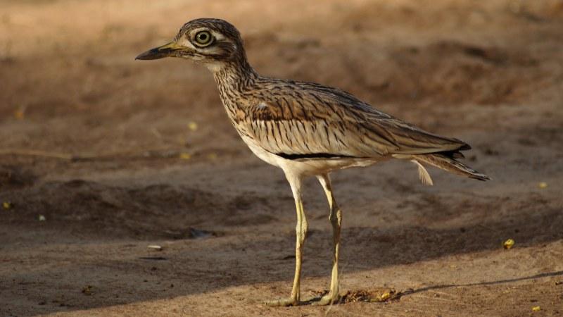 Burhinus senegalensis 17