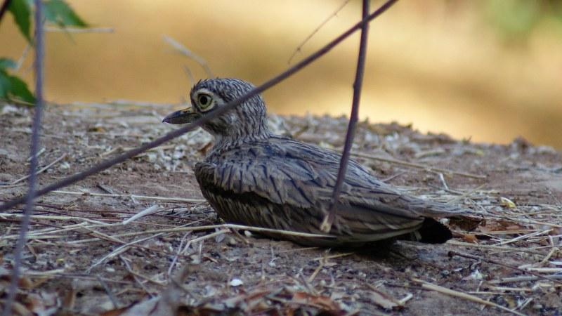 Burhinus senegalensis 20