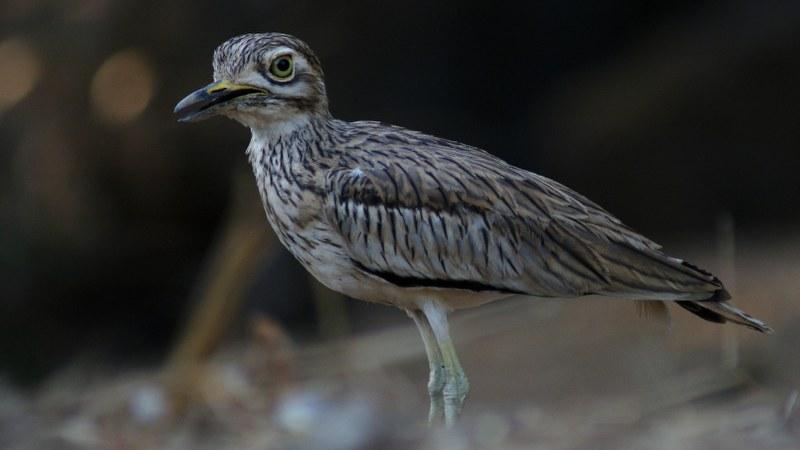 Burhinus senegalensis 19