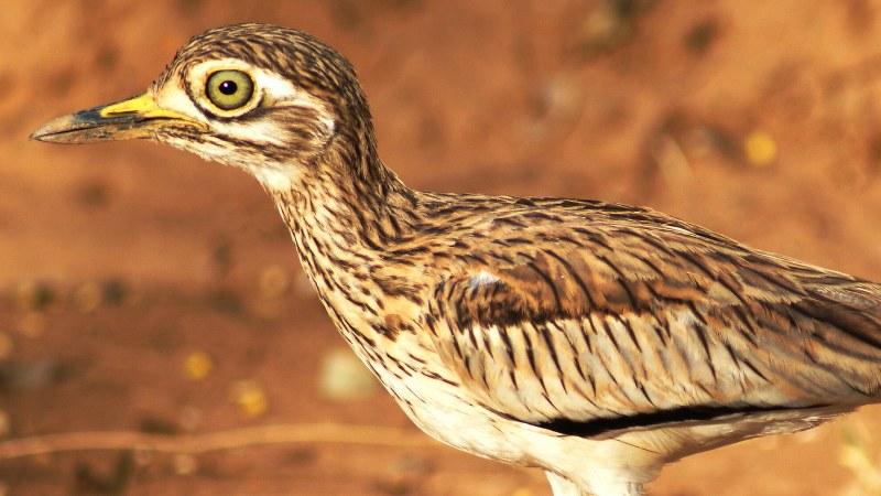 Burhinus senegalensis 18