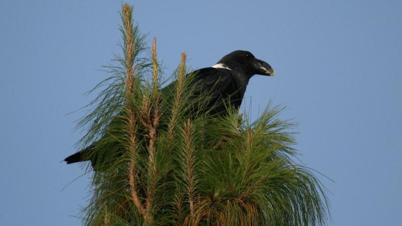 Corvus albicollis 1
