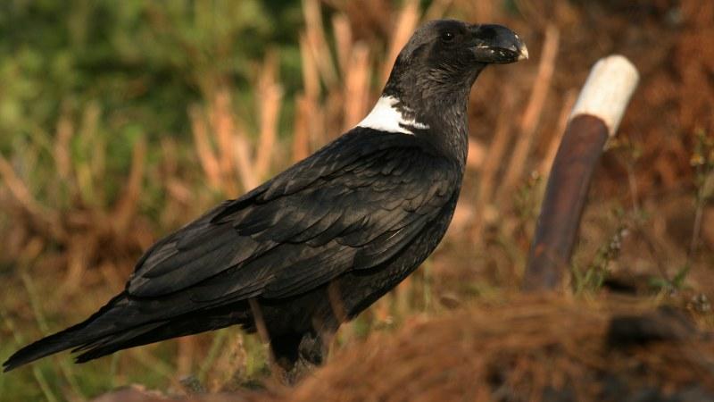 Corvus albicollis 5