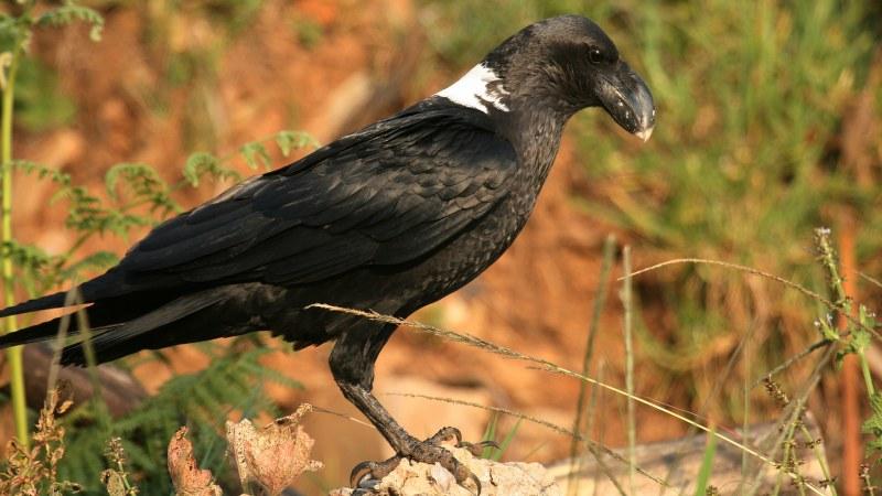 Corvus albicollis 6