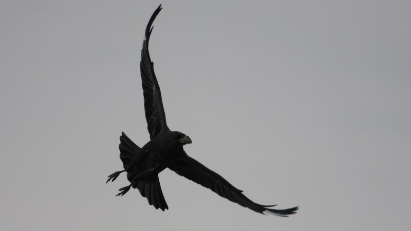 Corvus corax 7
