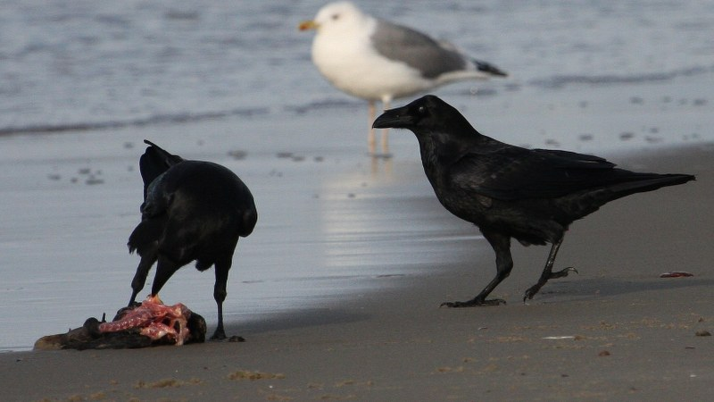 Corvus corax 3