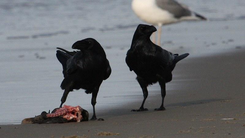 Corvus corax 4