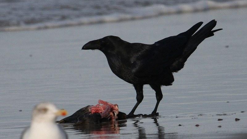Corvus corax 6