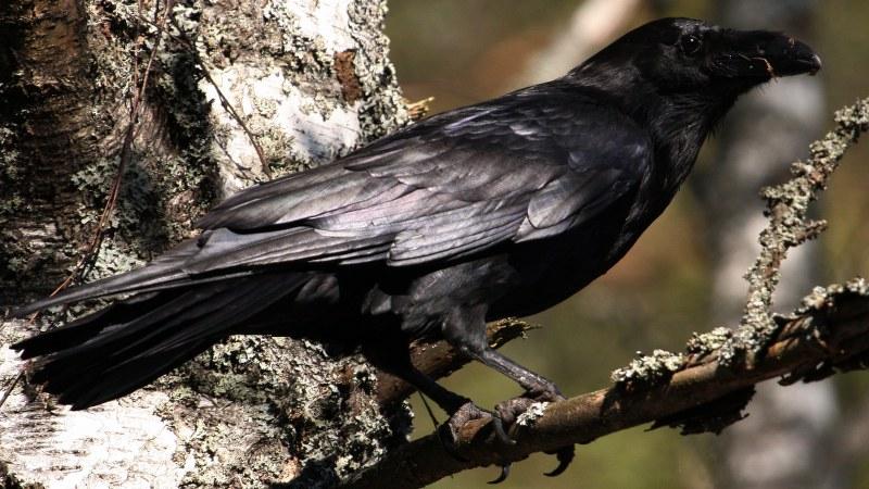 Corvus corax 11