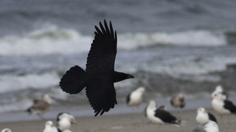 Corvus corax 9