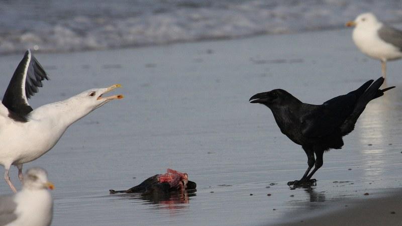 Corvus corax 5