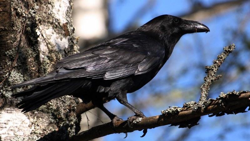 Corvus corax 12