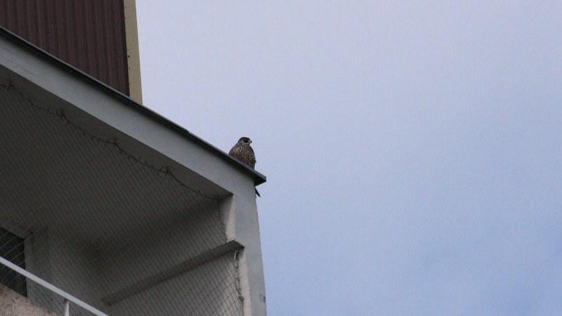 Falco peregrinus 2