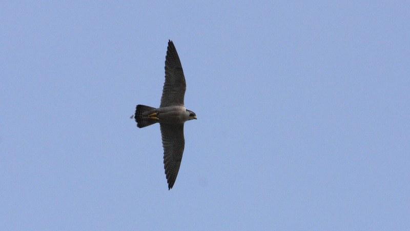 Falco peregrinus 4