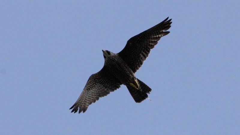 Falco peregrinus 5