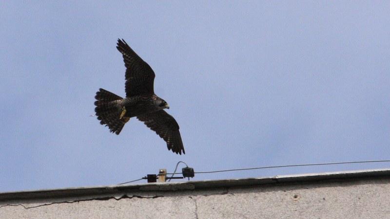 Falco peregrinus 7