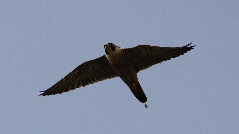 Falco peregrinus 8