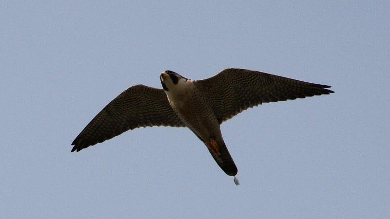 Falco peregrinus 1