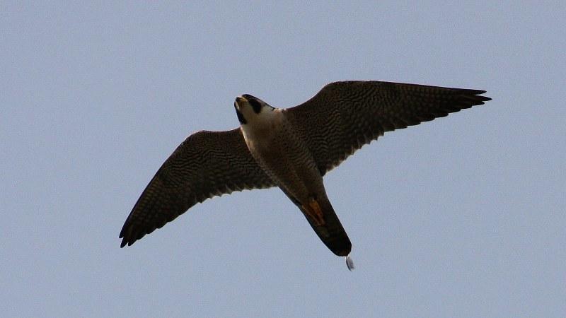Falco peregrinus 9