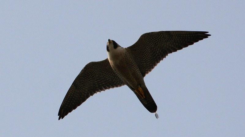 Falco peregrinus 10