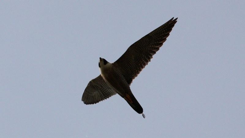 Falco peregrinus 11
