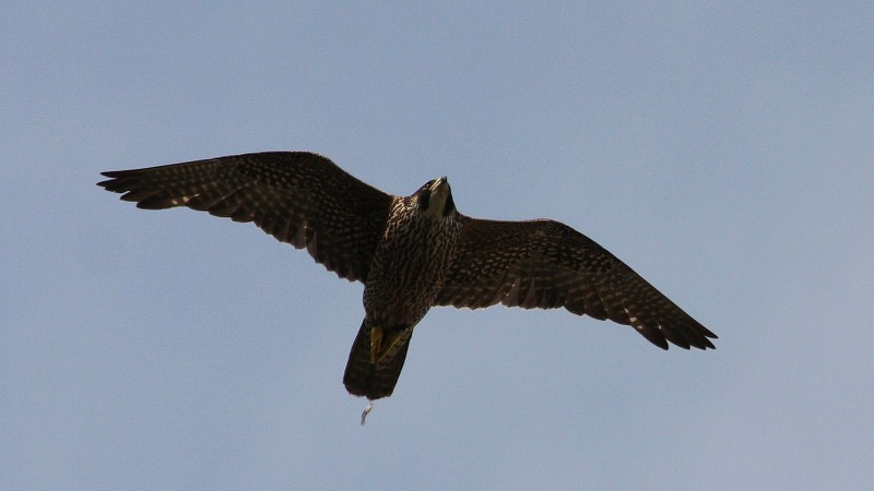 Falco peregrinus 12