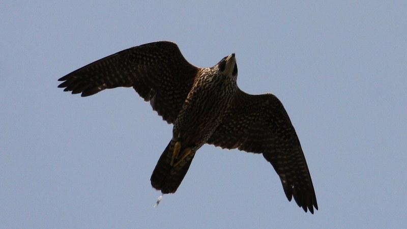 Falco peregrinus 14