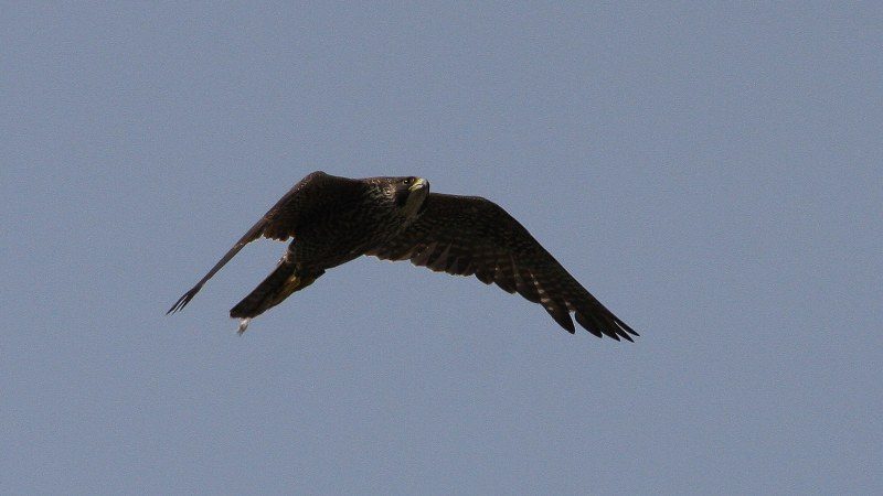 Falco peregrinus 15