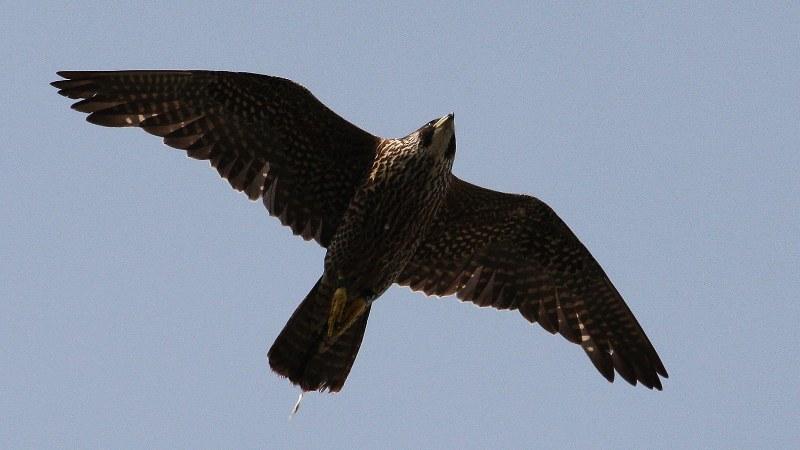 Falco peregrinus 16