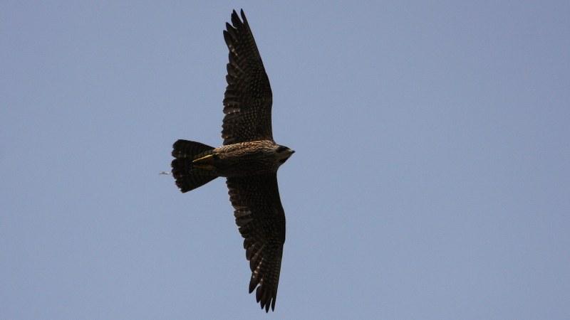Falco peregrinus 18