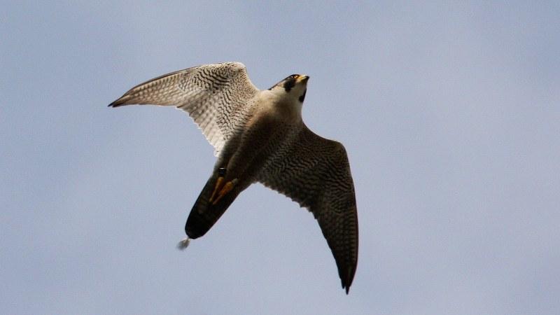 Falco peregrinus 19