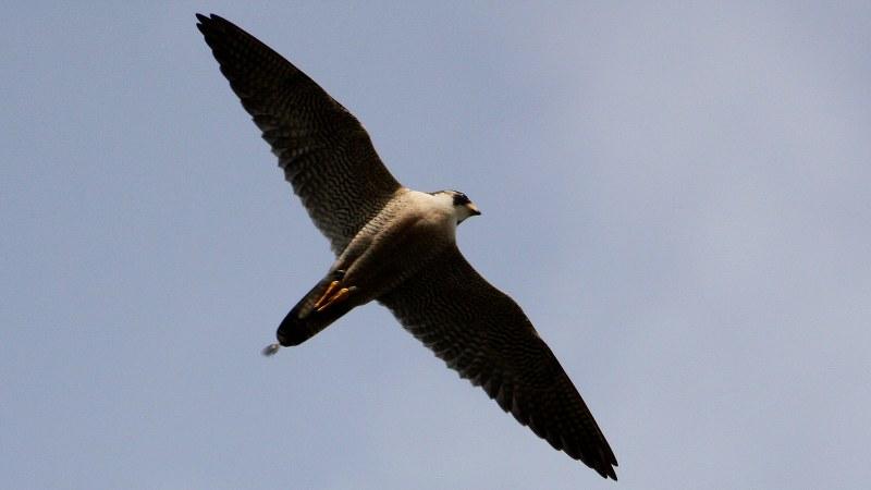 Falco peregrinus 20