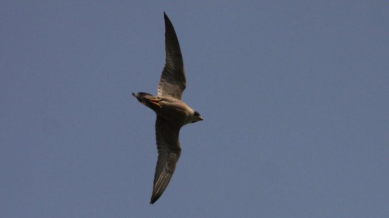 Falco peregrinus 22