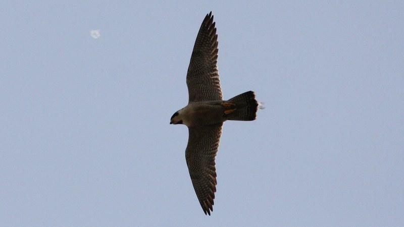 Falco peregrinus 21