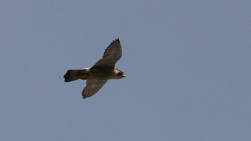 Falco peregrinus 25