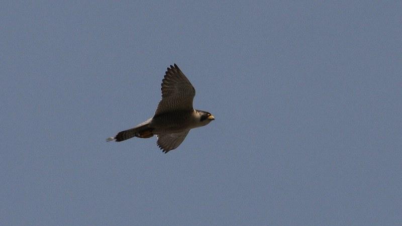 Falco peregrinus 24
