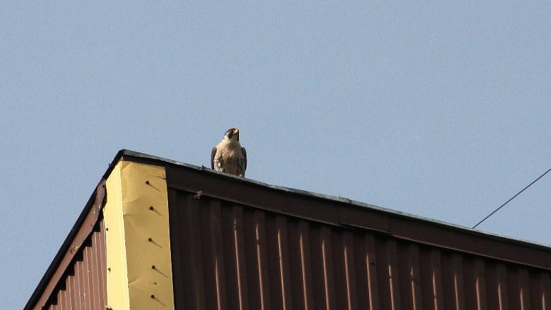 Falco peregrinus 26