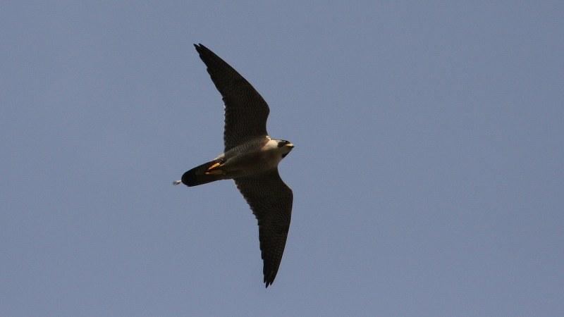 Falco peregrinus 23