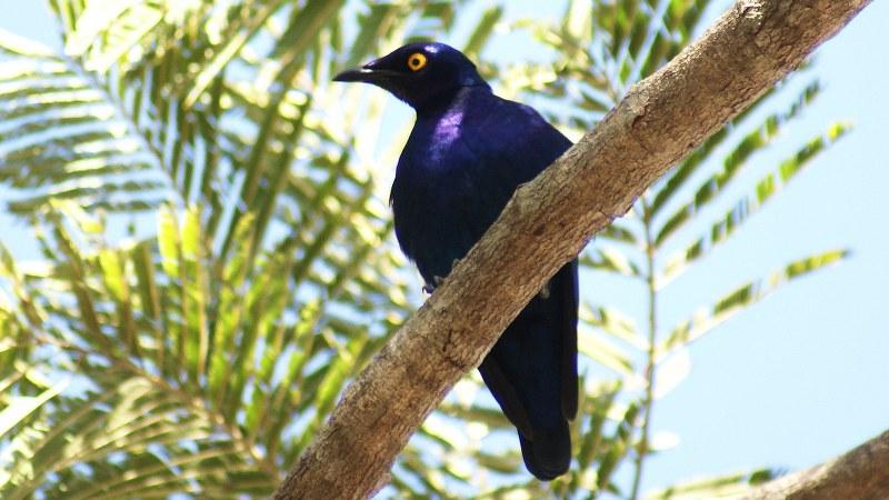 Lamprotornis purpureus 5