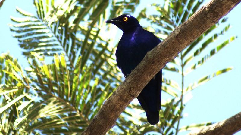 Lamprotornis purpureus 14