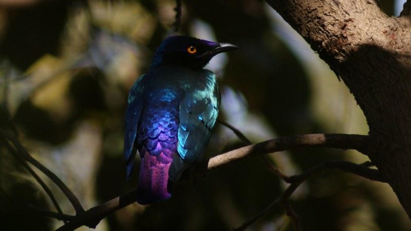 Lamprotornis purpureus 11