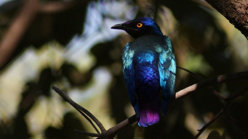 Lamprotornis purpureus 10