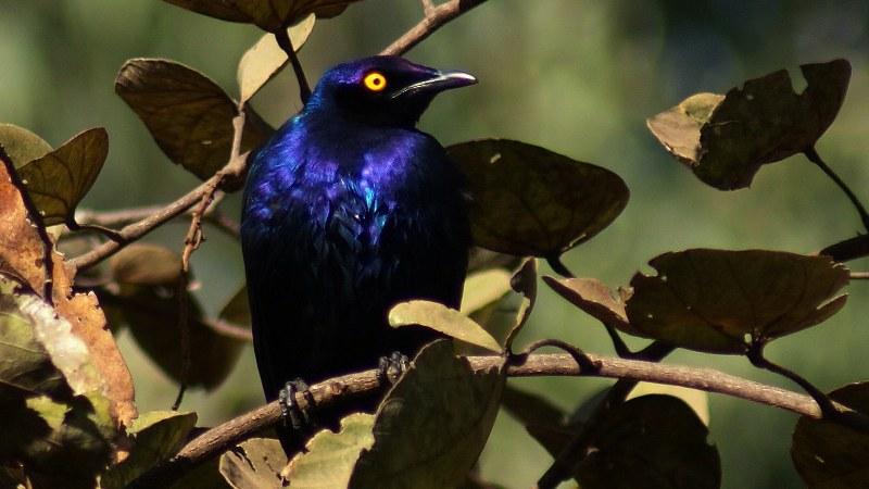 Lamprotornis purpureus 1