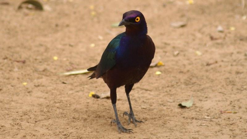 Lamprotornis purpureus 7