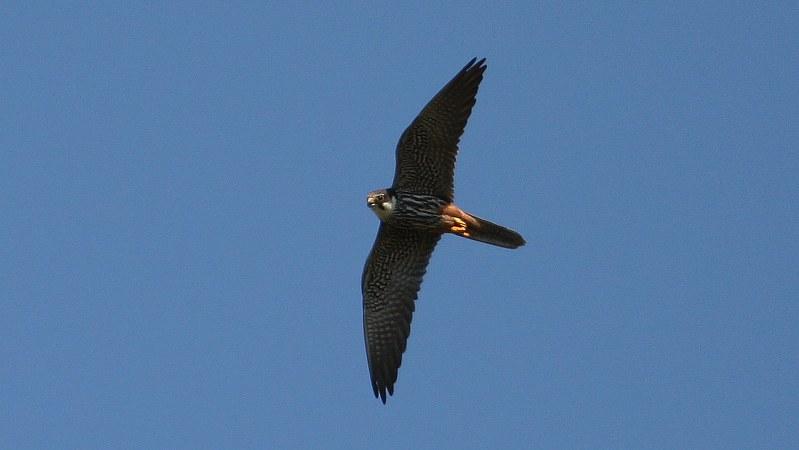 Falco subbuteo 3